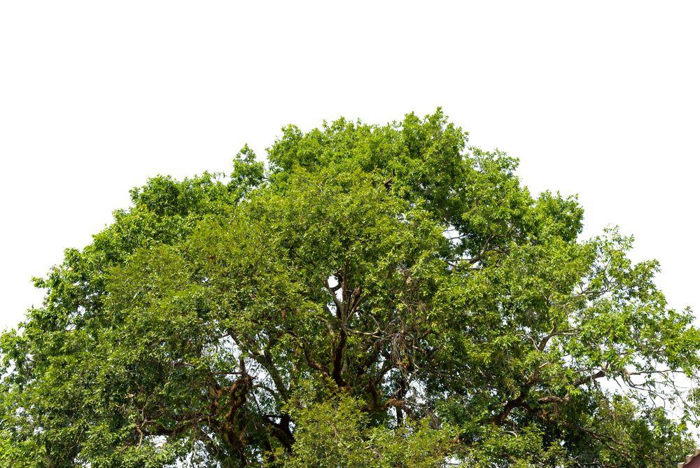 chanvre arbres
